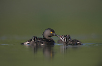 Least Grebe, Tachybaptus dominicus,adult feeding young on back, Lake Corpus Christi, Texas, USA
