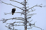 Bald eagle perched on a snow-covered branch in Homer, Alaska.