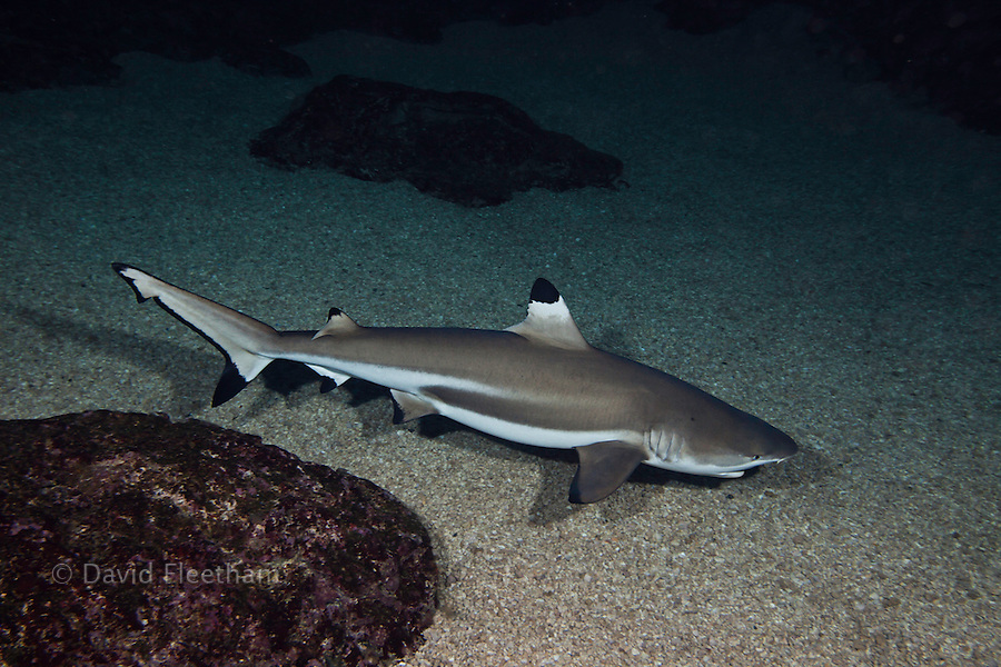 Blacktip reef shark, Carcharhinus melanopterus, Hawaii.