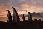 King penguins stand on a beach at sunrise at Gold Harbour on South Georgia Island.