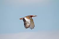 Great Bustard - Otis tarda - breeding male in flight