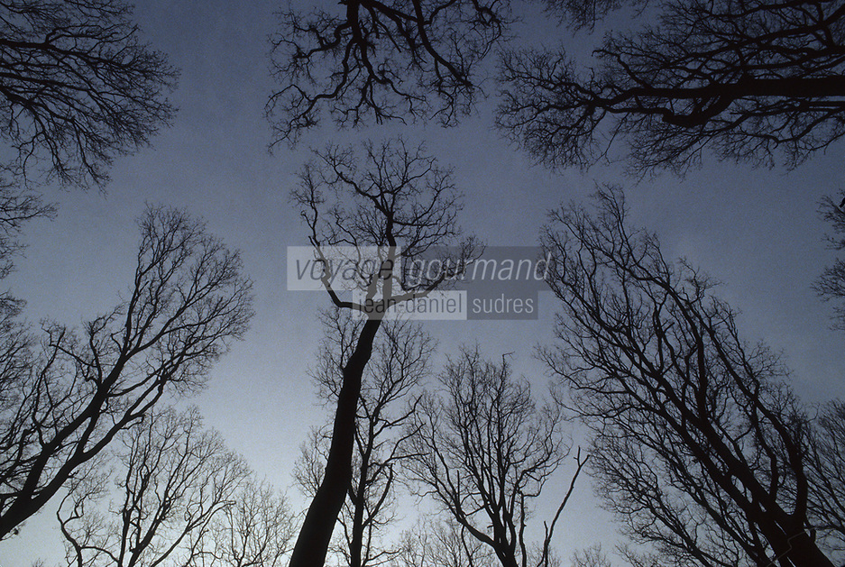 Europe/France/Centre/41/Loir-et-Cher/Forêt de Russy/Environ de Saint-Gervais-la-Forêt : Forêt de chêne utilisé par la Tonnellerie Seguin Moreau à Cognac