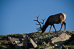 American elk, wapiti, Cervus elaphus, bull, antlers, alpine, tundra, summer, morning, Rocky Mountain National Park, Colorado, USA.