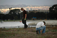 Mariner's Point, San Diego, CA, USA.  Saturday, December 13, 2008:  Volunteers  with the San Diego Audubon Society work to clean up one of the last Least Tern nesting sites on Mission Bay of non-native plants.