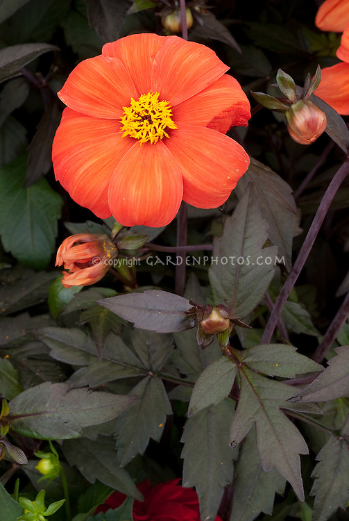 Dahlia 'Bishop of Oxford' orange flower with dark purple foliage leaves