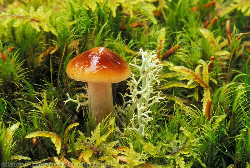 Mushroom in sphagnum moss on the tundra of Denali National Park, Alaska.