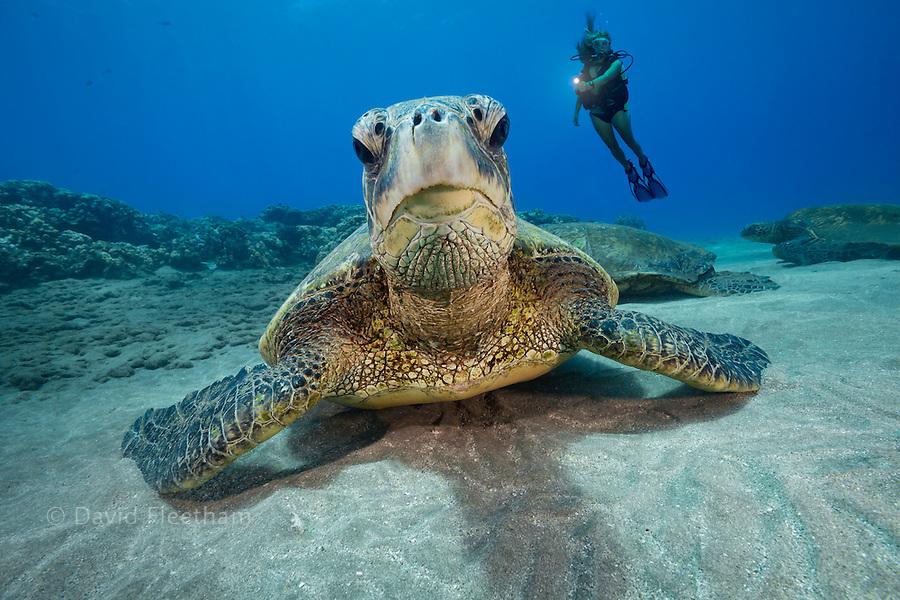 Green sea turtles, Chelonia mydas, and diver (MR), Hawaii.