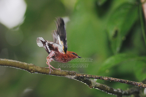 Club-winged Manakin (Machaeropterus deliciosus), male displaying, Milpe, Ecuador, Andes, South America