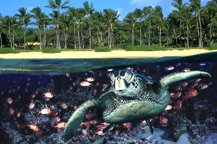 This digital image is a combination of three original photographs all taken in Maui, Hawaii. The green sea turtle Chelonia mydas is an endangered species.
