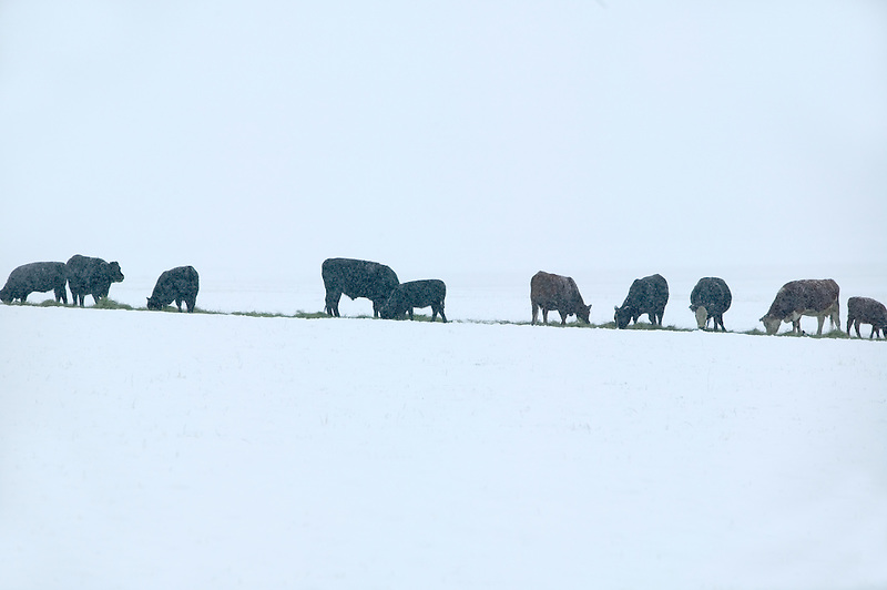 Cows eating dropped hay in snowy field. Near Joseph, Oregon