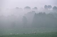 Europe/France/Alsace/67/Bas-Rhin/Env de Lobsann: Moutons en pâturages dans le brouillard