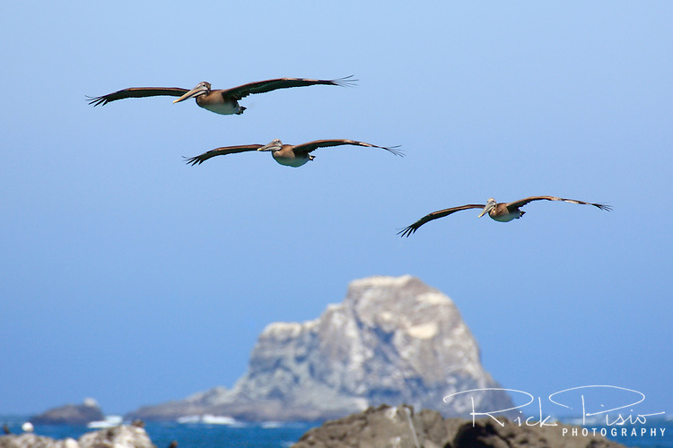 A trio of brown pelicans fly along the Southern Oregon Coast near Harris Beach. Brown pelicans breed in large colonies on the Channel Islands in Southern California, along the Baja peninsula, and in the Gulf of California, Mexico.  During summer and fall, birds disperse northward from their breeding grounds and can be seen diving for fish near the Oregon and Washington coast.  Photographed 07/08