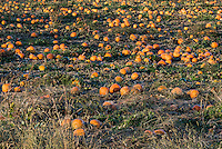 Field of pumpkins ready to harvest, Newbury, Vermont, USA..
