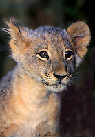 656259169 a young african lion cub panthera leo that is a captive wildlife rescue animal checks out the world species is native to sub-sahara africa