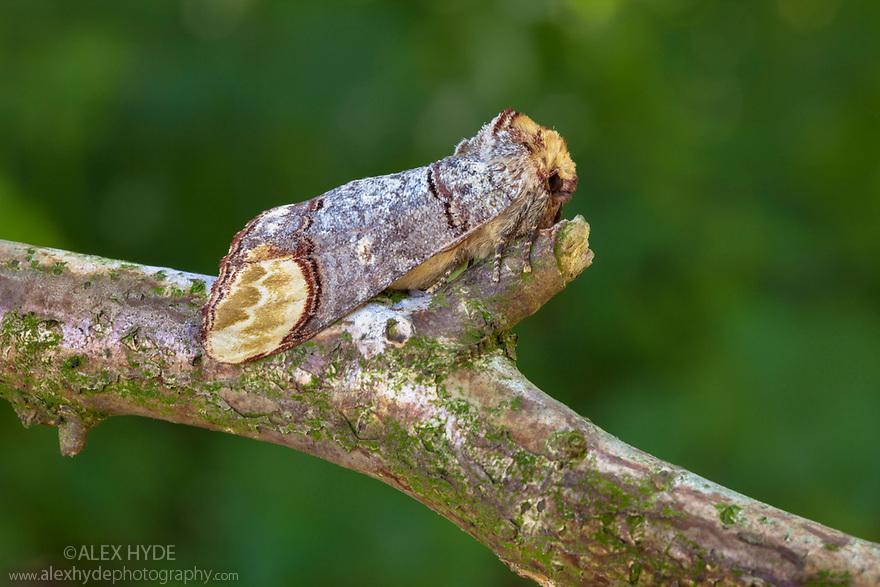 Buff-tip Moth (Phalera bucephala) camouflaged on branch, Nomandy, France. July.