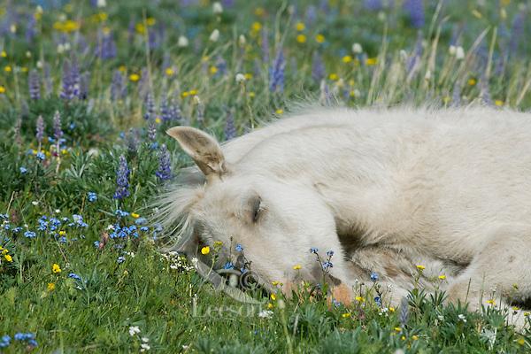 Wild Horse or feral horse (Equus ferus caballus) colt sleeping.  Western U.S., summer.