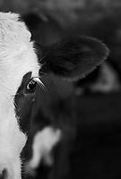 Calves at Rancho Santa Clara, Huamantla, Tlaxcala, Mexico
