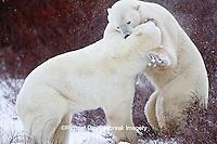 01874-13120 Polar Bears (Ursus maritimus) sparring Churchill Wildlife Management Area, Churchill, MB