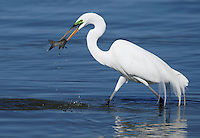 Egret - Great