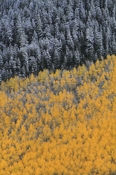 First snow of autumn, aspen and spruce trees, Vail Valley, Colorado. .  John offers private photo tours and workshops throughout Colorado. Year-round.