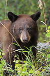 Cinnamon black bear. Grand Teton National Park, Wyoming.