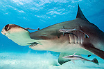 2013 National Wildlife Federation Photography Contest Honorable Mention -Great Hammerhead Shark, Sphyrna mokarran, swims over the sandy flats offshore South Bimini, Bahamas, North Atlantic Ocean. IUCN Red List