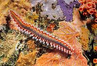 Bearded Fireworm, Hermidice carunculata, St. Vincent. Harmful bristles extended., Caribbean, Atlantic