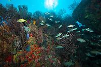 Coral reef at Bull Point.U.S. Virgin Islands