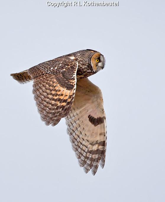 Long-eared in flight over a brushy ravine in eastern Washington