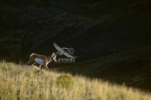 Pronghorn Antelope buck walking down ridge in late evening light.  Western U.S., Fall.