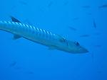 Blue Corner, Palau -- Pickhandle Barracuda near the sea wall at Blue Corner.