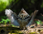 Male ruffed grouse drumming. Grand Teton National Park, Wyoming.