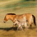 Przewalski's wild horse or Takhi, Gorkhi-Terelj National Park, Mongolia