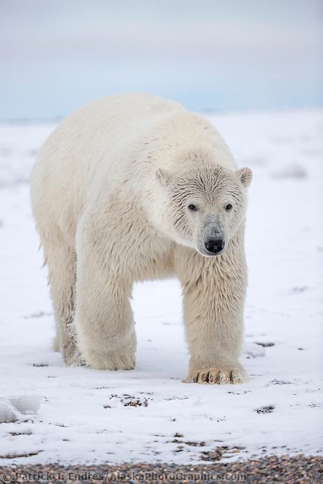 Polar bear on the snow, Arctic National Wildlife Refuge, Alaska.