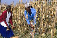 Farmer harvesting beans