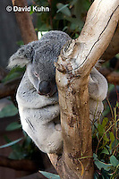 0802-1003  Sleeping Koala, Phascolarctos cinereus © David Kuhn/Dwight Kuhn Photography