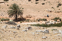 Jebel Nafusa, south of Tripoli, Libya - Meager grazing.  A shepherd tends his sheep along a water course fed by a small spring in otherwise semi-arid country.  Ain Wif Oasis.