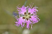 Fringed Pink - Dianthus superbus
