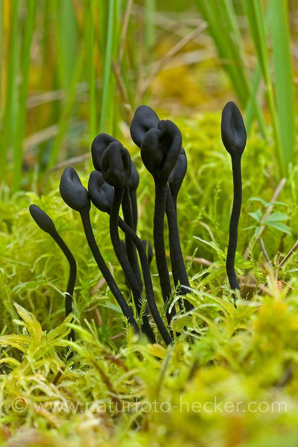 Gemeine Haarzunge, Schwarzer Löffelpilz, Rauhaarige Erdzunge, Behaarte Erdzunge, Trichoglossum hirsutum, black earth tongues