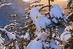 Snow covered pine trees and golden sunlight in Mount Hood National Forest, Oregon.