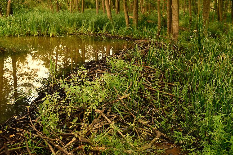 Beaver dam, Peene river, Anklam, Germany