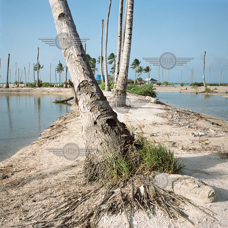 A dried up tree and roots which used to thrive. Due to rising sea levels, more areas of land are being flooded, killing vegetation and plant life and making the land uninhabitable.