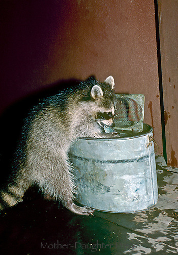 Young raccoon, Procyon lotor, helps himself to fish from a bait bucket at night.