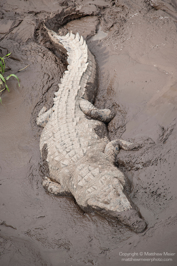 Tarcoles River, Costa Rica; an American Crocodile (Crocodylus acutus) along the banks of the Tarcoles River
