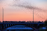 Austin Congress Bats -  Austin Congress Bats as they came out over the bridge in downtown Austin. It is part of the to do list for Austin now, you have to go see the bats come out from under the congress bridge. There are approximately 1.5 million mexican free tail bats that live under the Congress Ave. bridges and else where through out the city.  The most popular viewing area is from under the Congress bridge or the Ann Richard Congress Bridge. The bats have been rather elusive at times but we finally capture a few images on this evening.  You can see the crowds of people on top of the bridge and all the boats in the water below waiting on their nightly show from the bats and tonight they came out right at dusk.  We were lucky to catch them.