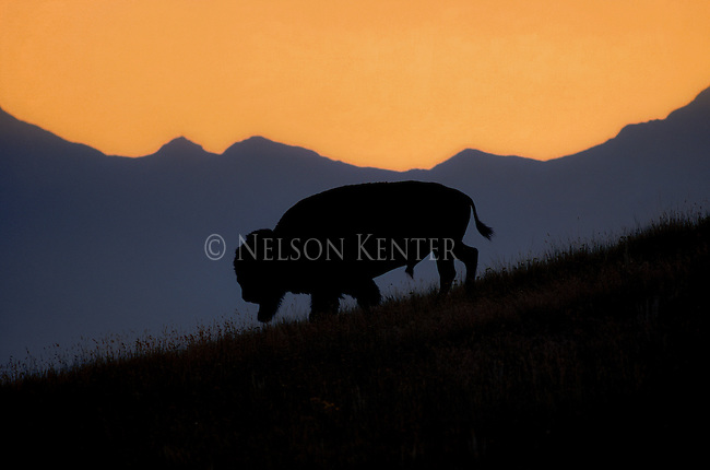 Bison Bull in Montana silhouetted against the Mission Mountains