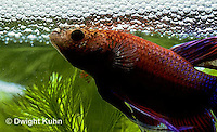 BY03-066z  Siamese Fighting Fish - male making protective bubble nest for eggs - Betta splendens