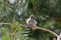 TITMOUSE FLUFFING UP