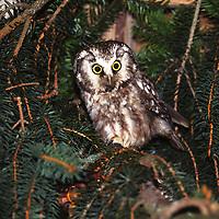 Raufusskauz, Raufußkauz, Rauhfusskauz, Rauhfußkauz, Raufuss-Kauz, Raufuß-Kauz, Kauz, Käuzchen, Aegolius funereus, Tengmalm's owl, boreal owl, Richardson's owl, La nyctale de Tengmalm, La chouette de Tengmalm, La chouette boréale
