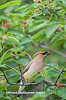 01415-03409 Cedar Waxwing (Bombycilla cedrorum) eating berry in Serviceberry (Amelanchier canadensis) bush, Marion Co. IL